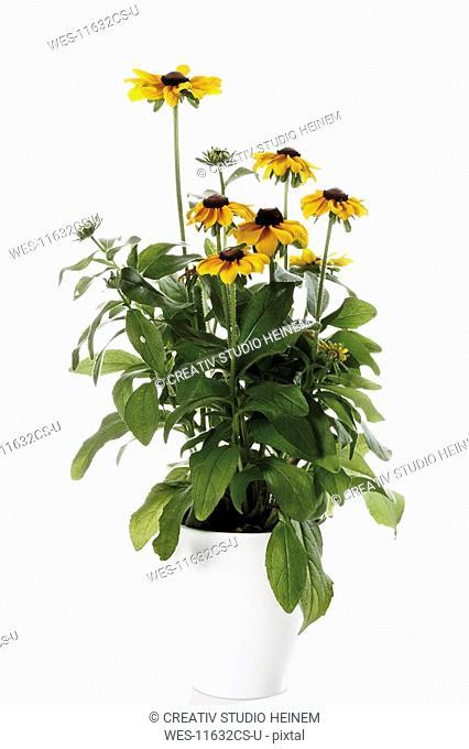 Black-eyed Susan flowers Rudbeckia hirta in flower pot