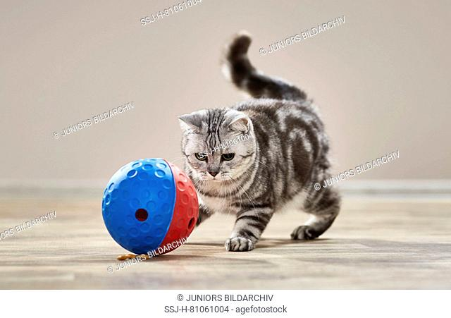 British Shorthair cat. Tabby adult playing with food-dispensing toy. Germany