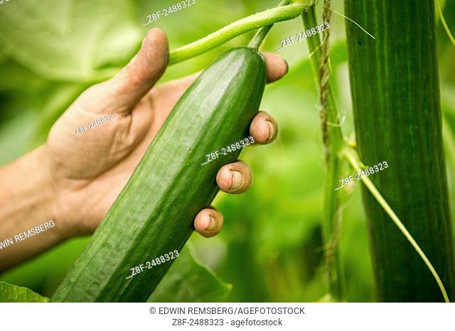 Man's hand holding hydroponic cucumber in greenhouse in Cordova, Maryland, USA