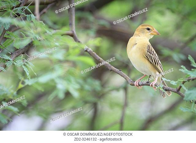 Baya Weaver (Ploceus philippinus), female perched on branch. Rajasthan. India