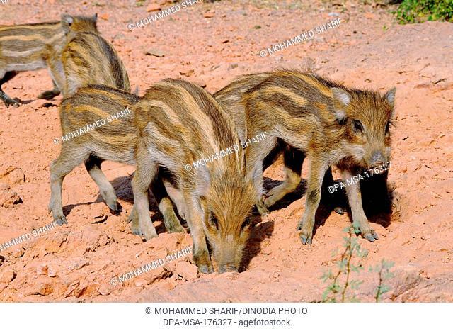 Wild pig kids , India