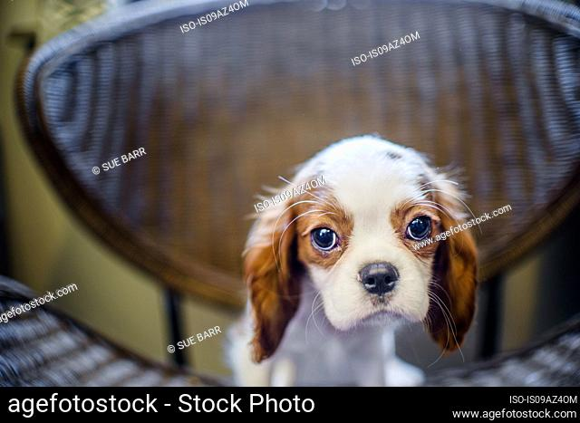 Puppy on chair looking at camera