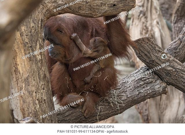 31 October 2018, Hessen, Frankfurt-Main: A still nameless orangutan baby clinging to its mother Rosa's fur. The animal's gender is also not yet certain