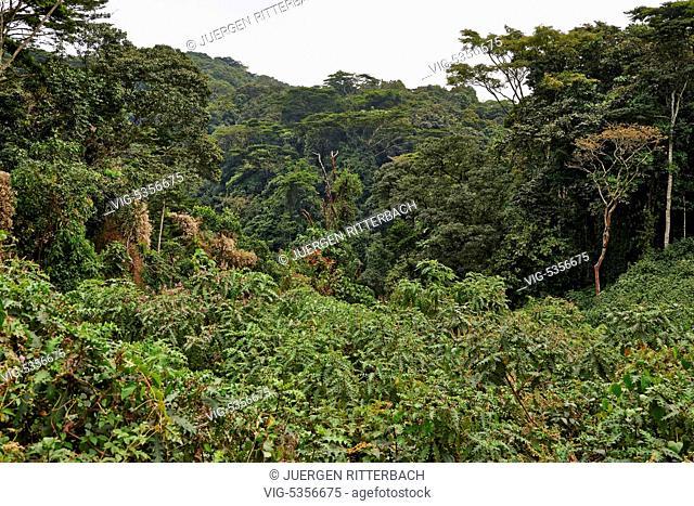 UGANDA, BUHOMA, 18.02.2015, rain forest of Bwindi Impenetrable National Park, Uganda, Africa - Buhoma, Uganda, 18/02/2015