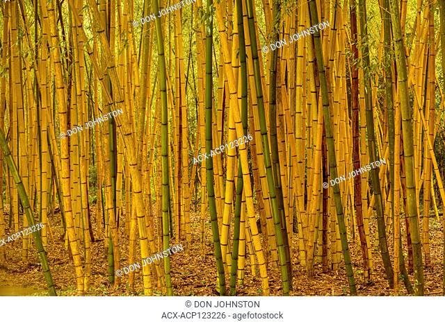 Bamboo forest, Jungle Gardens, Avery Island, Louisiana, USA