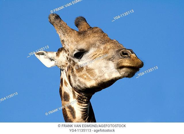 Giraffe Giraffa Camelopardalis  April 2009, fall  Tala Game Reserve, Kwazulu-Natal, South Africa