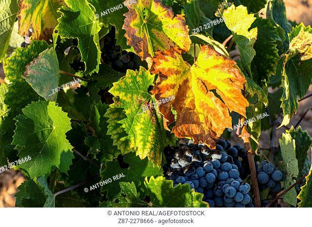 Grapes, Almansa, Albacete province, Castilla-La Mancha, Spain