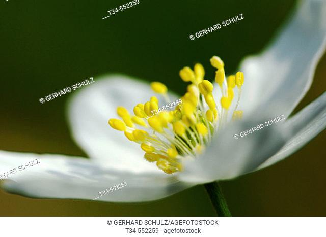 Wood Anemone (Anemone nemorosa). Schleswig-Holstein, Germany