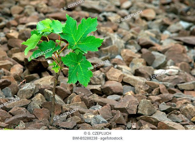 sycamore maple, great maple (Acer pseudoplatanus), seedling in ballast, Germany, North Rhine-Westphalia