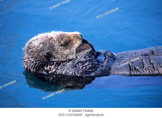 southern sea otter,enhydra lutris,resting,note fore legs are kept uot of water and crossed to keep warm,monterey,california,usa,pacific ocean