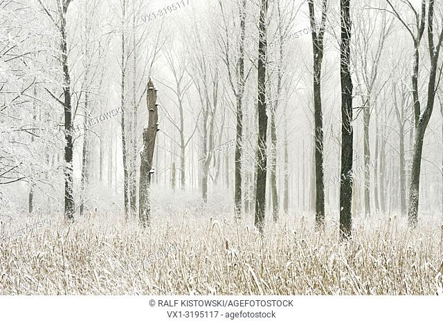 Snow covered swamp forest in the Lower Rhine Region. Winter in Meerbusch, Ilvericher Altrheinschlinge, Germany