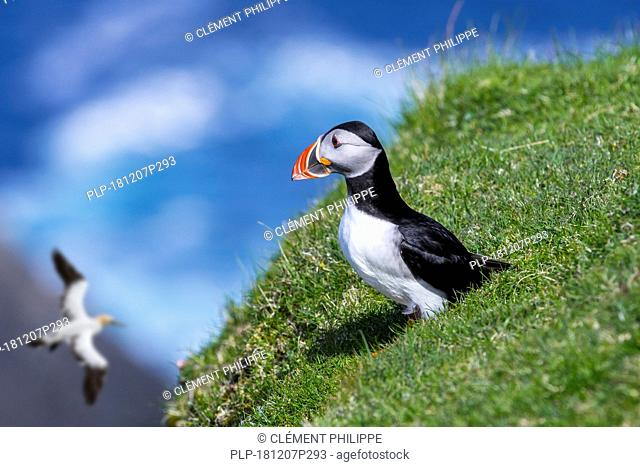 Atlantic puffin (Fratercula arctica) on sea cliff top in seabird colony and northern gannet passing by, Hermaness, Unst, Shetland Islands, Scotland