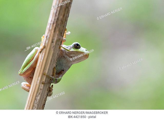 Tree frog (Hyla arborea) on stalk, Rhineland-Palatinate, Germany