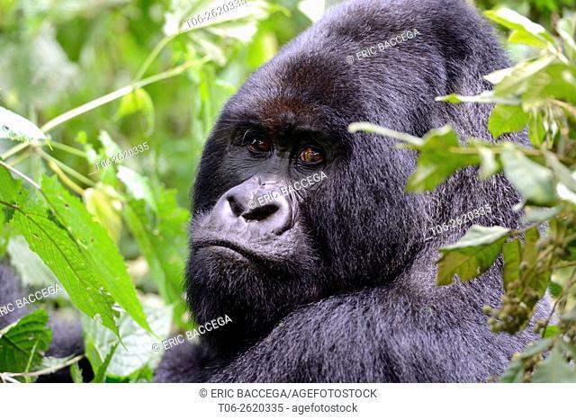 Portrait of male silverback Mountain gorilla (Gorilla beringei beringei) Virunga National Park, Democratic Republic of Congo, Africa