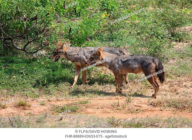 Adult pair of Golden or Asiatic Jackal, with male smelling area of bush just scented, Yala National Park, Sri Lanka