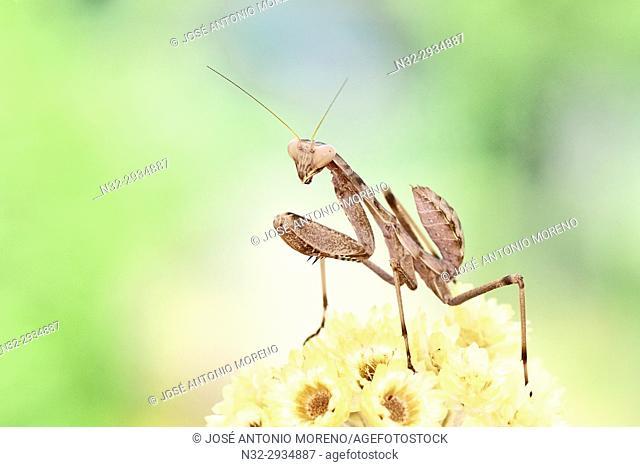 European Mantis or praying mantis (Mantis religiosa), Benalmadena, Malaga province, Andalusia, Spain