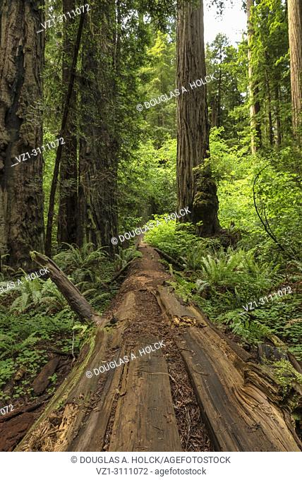 Fallen tree continues to give life to the forest in Stout Memorial Grove, Jedidiah Smith Redwoods State Park, CA, USA
