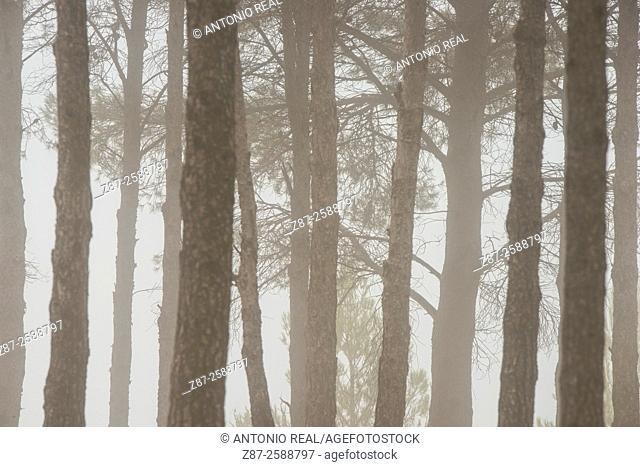 Misty pine grove, Almansa, Albacete, Castile-La Mancha, Spain