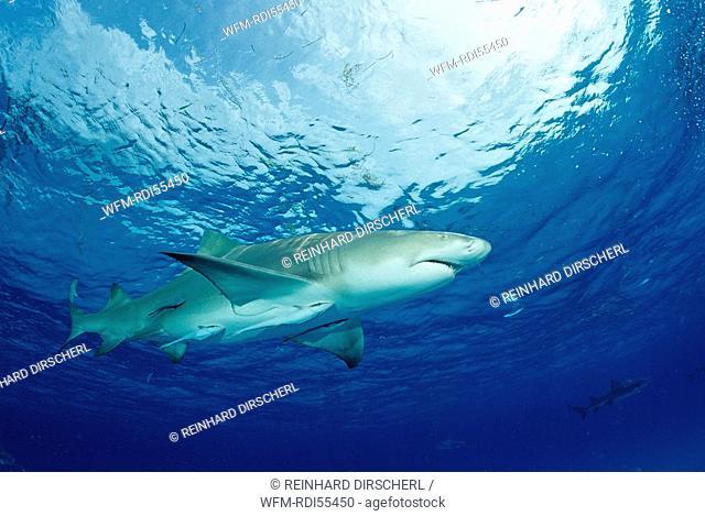 Lemon Shark, Negaprion brevirostris, Grand Bahama Island, Atlantic Ocean, Bahamas