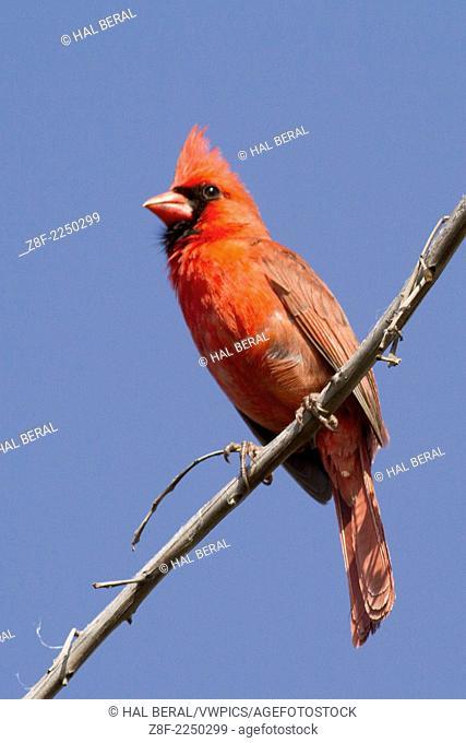 Northern Cardianal male (Cardinalis cardinalis) Oahu,Hawaii