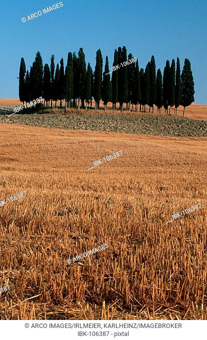 Stubble field and Italian Zypresses, San Quirico, Tuscany, Italy / (Cupressus sempervirens)
