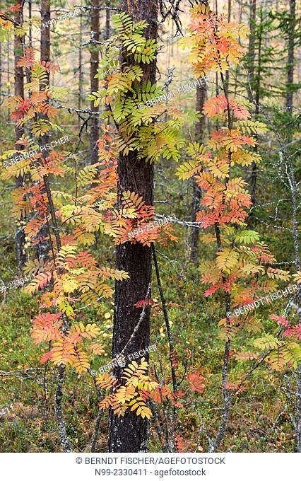 Autumn colours in Carelia, rowan in boreal pinewood, Finland