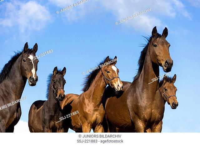 Dutch Warmblood. Mares with foals on a pasture, seen against the blue sky. Great Britain