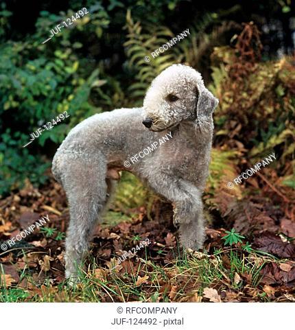 Bedlington Terrier - standing