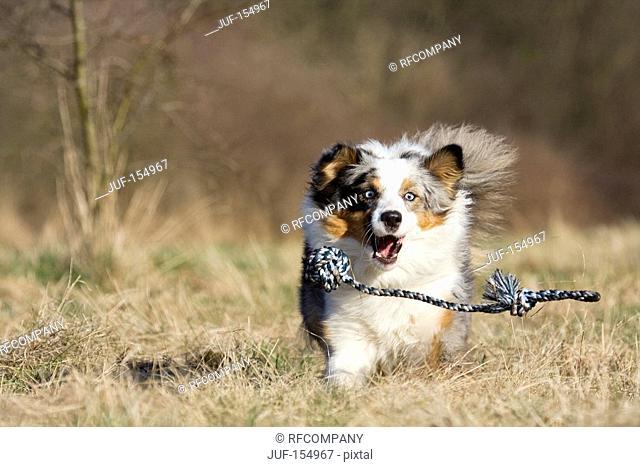 Australian Shepherd dog - running on meadow