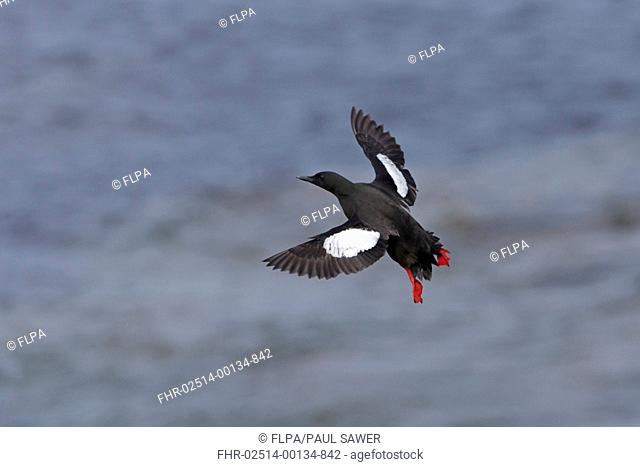 Black Guillemot (Cepphus grylle) adult, breeding plumage, in flight over sea, Shetland Islands, Scotland, June