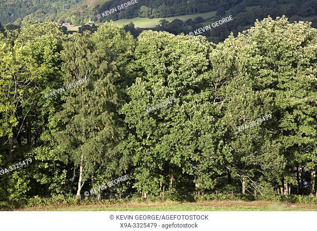Trees in Dee Valley outside Llangollen; Wales, UK