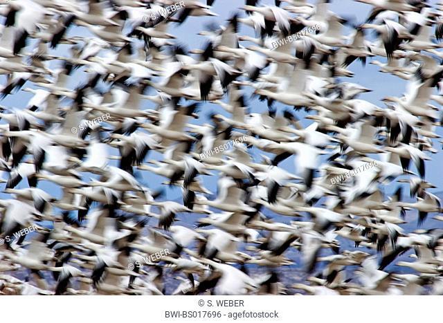 snow goose (Anser caerulescens, Chen caerulescens), flying swarm, USA, New Mexico, Bosque del Apache Wildlife Refuge