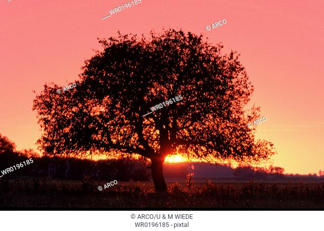 Cultivated, Pear, at, sunset, Hungary, Pyrus, communis