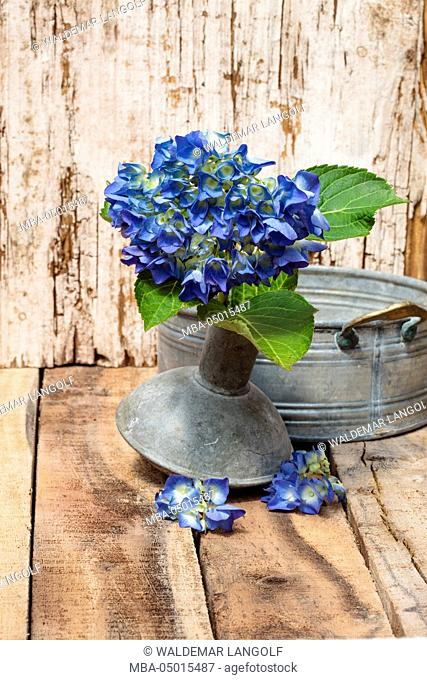 Blue hydrangea, spout of a watering can as a vase, wooden underground