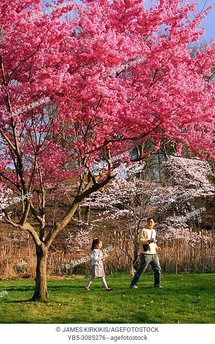 A father and daughter enjoy a spring day amongst blossoming cherry trees