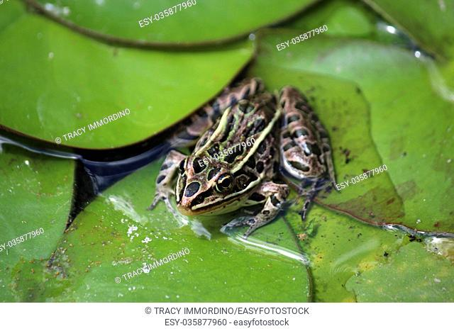 Macro shot of a Leopard frog sitting on lily pads in a pond using a bokeh effect