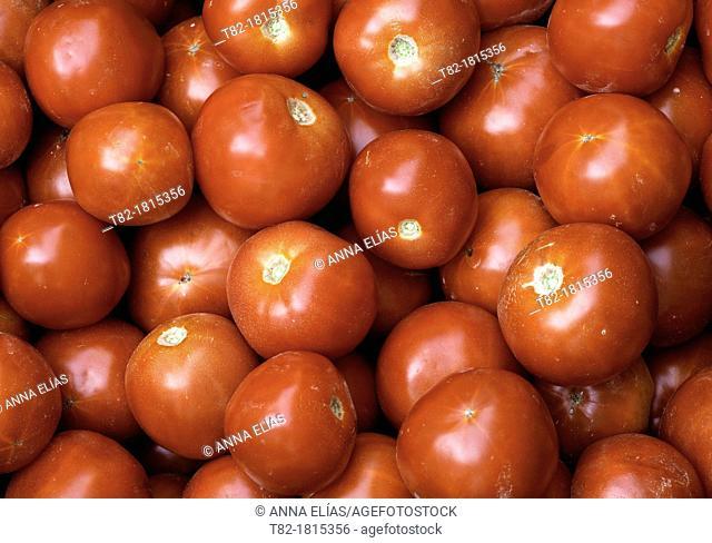 red tomatoes Solanum lycopersicum many forming a pattern, Andévalo, Sierra de Aracena, Huelva, Andalucía, Spain, Europe