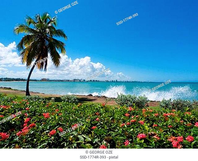 Palm tree on the beach with San Juan skyline in background, Isla verde, Carolina, Puerto Rico