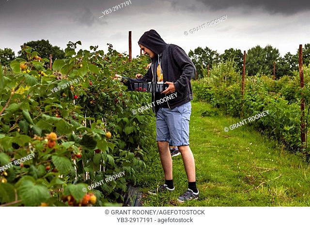 Young People Picking Raspberries On A Farm, East Sussex, UK