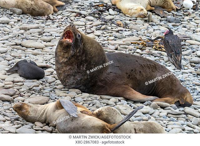 South American Sea Lion (Otaria flavescens) or Southern Sea Lion, Patagonian Sea Lion. Bull on pebble beach. South America, Falkland Islands, january