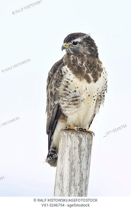 Common Buzzard / Maeusebussard ( Buteo buteo ) in winter, perched on a fence post, wildlife, Europe