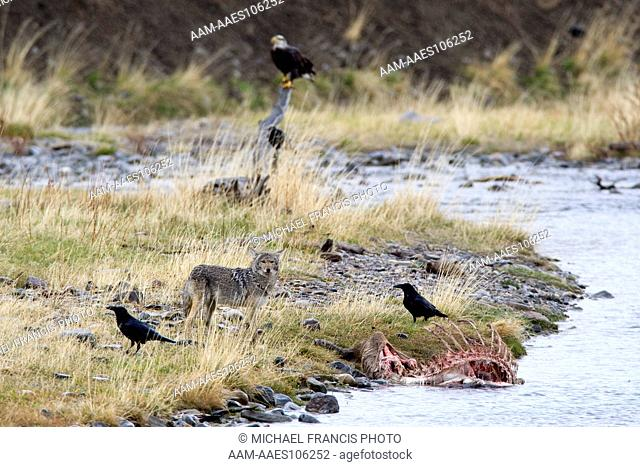 Coyote (Canis latrans) feeding on elk carcass in river with ravens and bald eagle Yellowstone National Park Wyoming