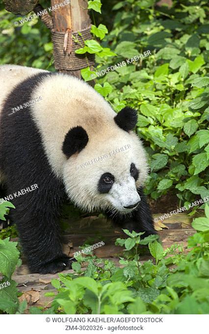 A Giant panda (Ailuropoda melanoleuca) at the Chengdu Panda Breeding Center in Chengdu, Sichuan Province in China