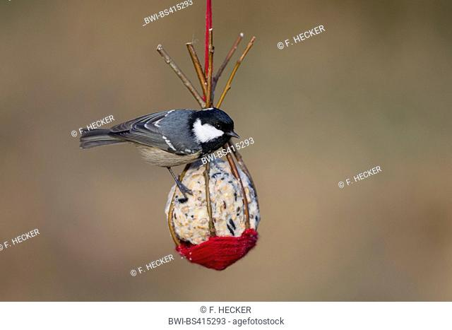 Coal tit (Periparus ater, Parus ater), at home made birdfeed in a little basket made of willow twigs, Germany