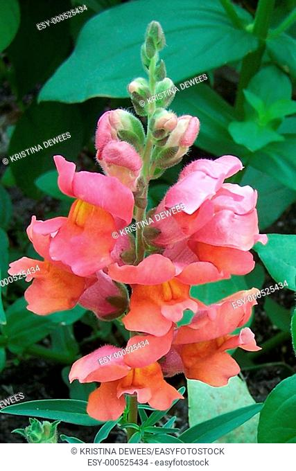 The tower of a pink snapdragon