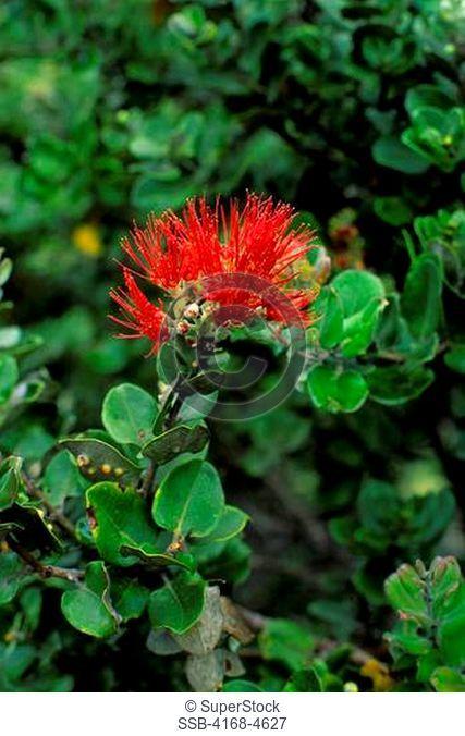 USA, Hawaii, Hawaii Volcanoes National Park, Ohia lehua