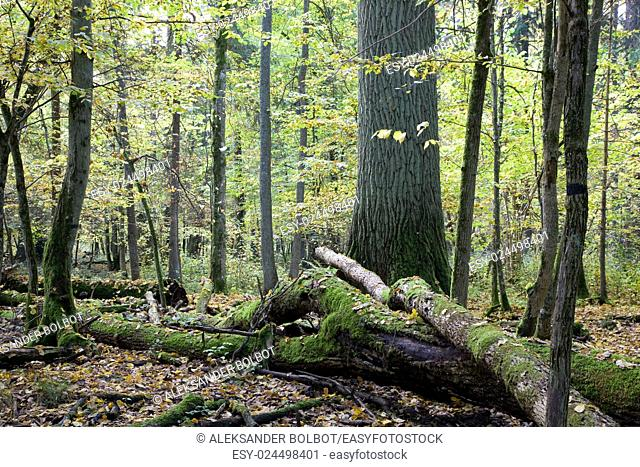 Broken trees almost decomposed in deciduous stand,Bialowieza Forest,Poland,Europe