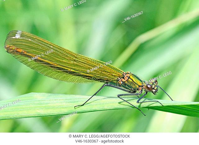 Banded Demoiselle, Calopteryx splendens, female  Mature female on grass  Metallic green damselfly with ruby tipped tail  Small white stigmata  male is metallic...