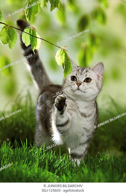 British Shorthair cat - playing with twig