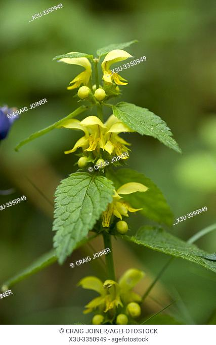 Yellow Archangel (Lamium galeobdolon)